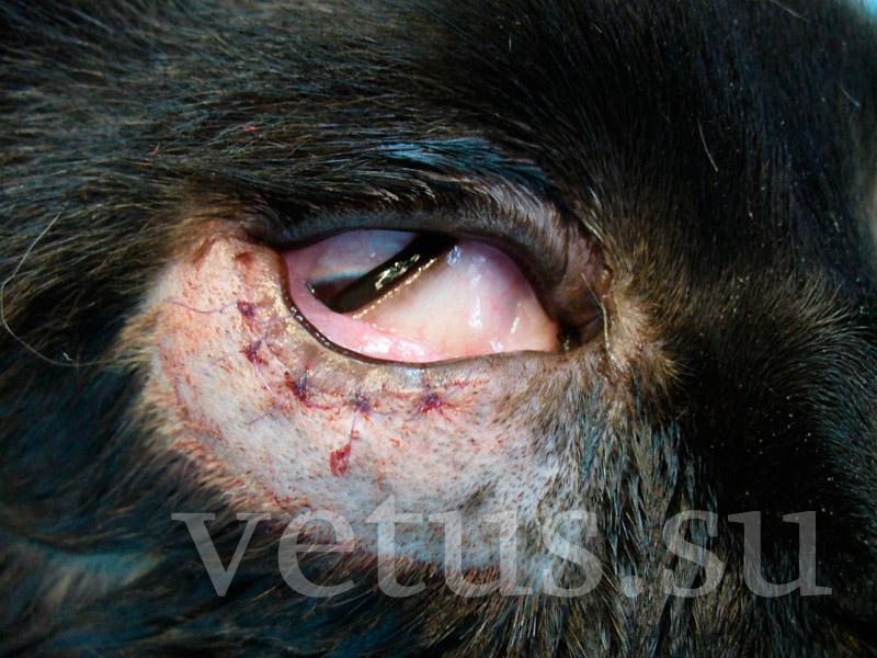 Заворот (энтропион) и выворот (эктропион) век у собак и ... Паралич Лицевого Нерва У Животных
