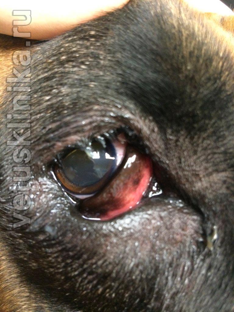 Заворот (энтропион) и выворот (эктропион) век у собак и кошек Паралич Лицевого Нерва У Животных